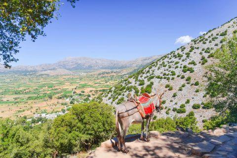 A lovely donkey, gazing at the vast plains of Lassithi