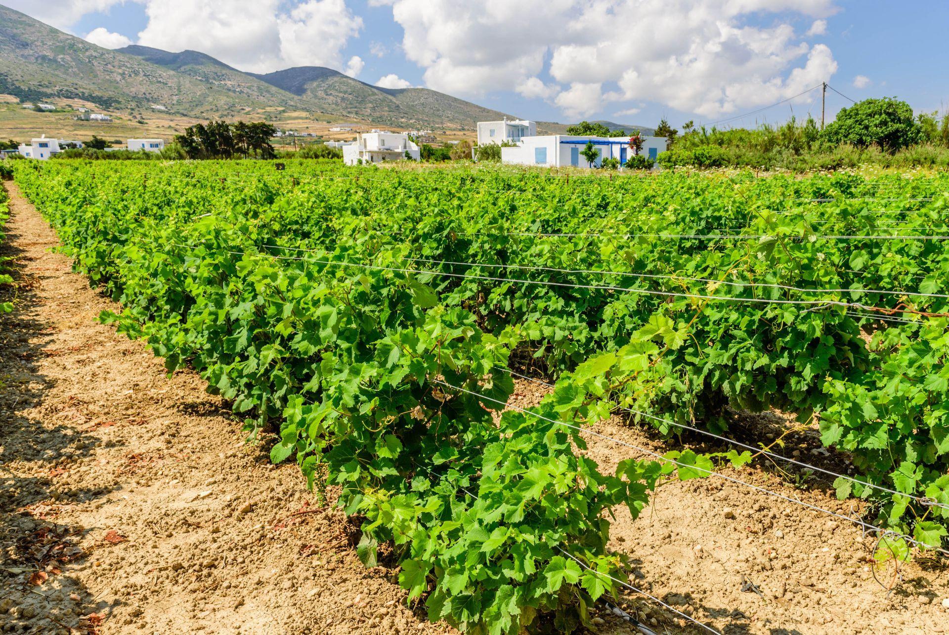 Wineries in Paros