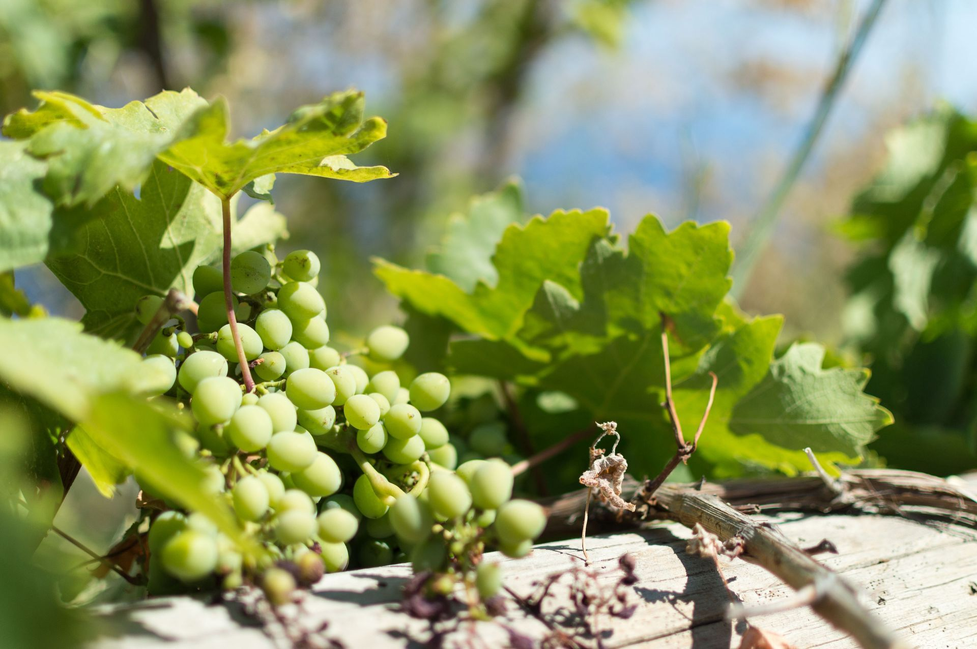 Wineries in Ikaria