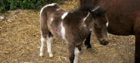 Visit the farm with ponies in Skyros