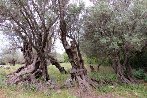 Panagia tis Spilias: One of the older olive trees in Greece
