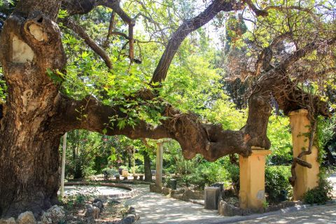 Rodini Park: An enormous, old tree.