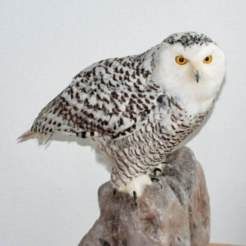 Helmis Natural History Museum: A beautiful owl.
