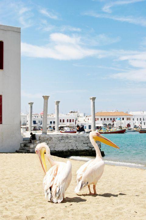 Peter the Pelican: The cute Pelicans of Mykonos island