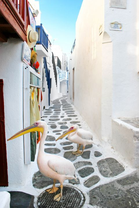Peter the Pelican: Pelicans can be seen on the paved paths of Mykonos Chora