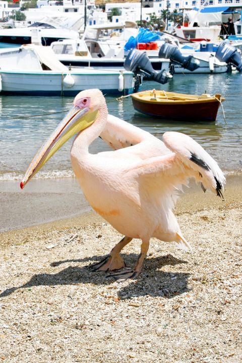 Peter the Pelican: Peter the Pelican has been a symbol of Mykonos island