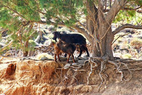 Hohlakas: Lovely goats