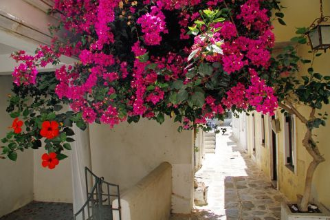 Colorful flowers on the alleys of Tinos.