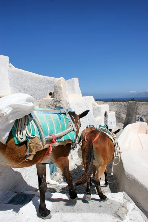 Donkeys of Santorini